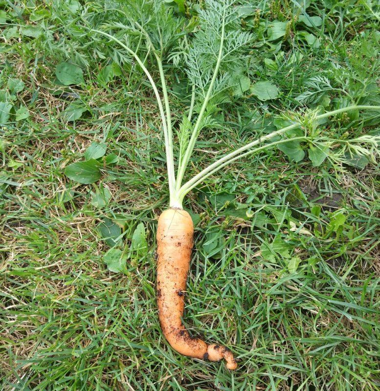 carrot in garden